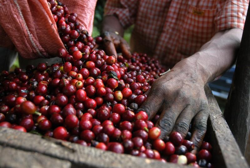 Guatemala Kaffeeernte